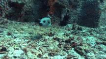 Pufferfish Searching For Food