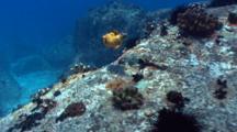Yellow Pufferfish Along Rocky Reef