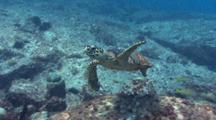 Hawksbill Turtle And Snappers