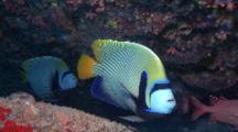 Emperor Angelfishes