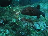 Pufferfish And Rabbitfish