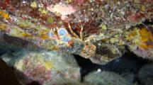 A Regal Slipper Lobster In A Lava Cave Crawls On The Walls