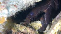 A Viper Moray Eel With Frightful Teeth, Enchelynassa Canina, Is Cleaned By A Banded Coral Shrimp
