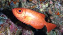 A Glasseye Snapper, Heteropriacanthus Cruentatus, Being Groomed By A Small Cleaner Fish In A Cave On A Rocky Reef