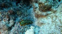 A Zebra Flatworm On A Sandy Coral Reef