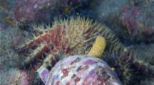 A Giant Tritons Trumpet Snail Drops From A Boulder To Pursue A Crown Of Thorns Starfish That It's Attacking