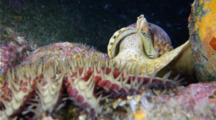 A Tritons Trumpet Snail Pursues A Crown Of Thorns Starfish That It's Attacking