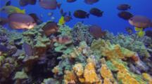 Assorted Reef Fish With Tangs And Goatfish Approaching Camera On A Coral Reef