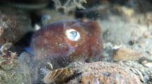 Stubby Squid, Rossia Pacifica, Swims, Hides By Burying Itself In The Sand