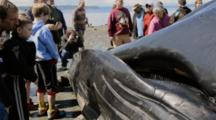 Dead Fin Whale Surrounded By People On A Seattle Beach. The Whale Died From A Strike By A Large Ship
