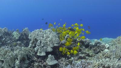 A school of yellow tang fish off the Kona Coast Big Island Hawaii