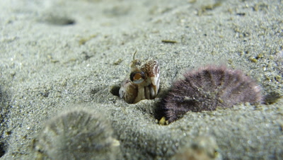 One spot fringehead fish hides on the seafloor in Monterey