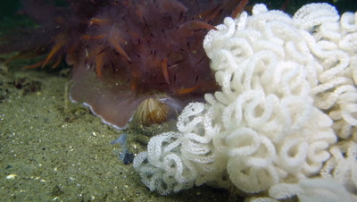 Rainbow nudibranch laying its eggs on the seafloor