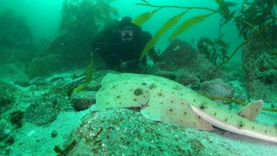 Scuba diver inspects an angel shark on the seafloor
