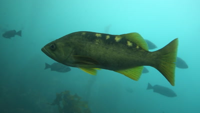 Olive rockfish also known as yellow tail rockfish swims through a kelp forest