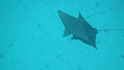 School or group of spotted eagle rays swimming over sandy bottom in Hawaii