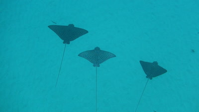 School of spotted eagle rays in Hawaii