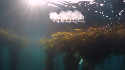 Salp chain in a kelp forest in Monterey Bay Monastery Beach underwater slow motion