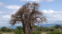 Baobab Tree In The Serengeti National Park
