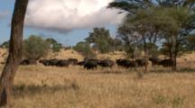 Cape Buffalo Herd Run In The Serengeti Plains