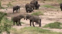 Playful Adolescent African Elephants Play While Others Dig And Drink From The River Bed