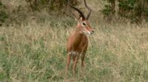 A Male Impala, A Ram,  Grazes And Stays Alert For Danger