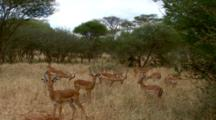 Young Male Impalas, Rams, In A Bachelor Herd.