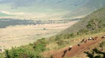 Masai (Maasai) Warriors Lead Their Cattle Up The Mountain For Water