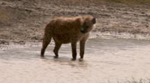 Spotted Hyena Drinks From A Large Puddle