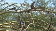 A Vervet Monkey Sits On Tree Branch And Scratches Himself