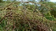 A Vervet Monkeys Climb Yellow Acacia Branches