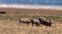 A Warthog Sow And Piglets Grazes On The Grass With Dust In The Background