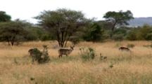 Waterbucks Graze In The Field