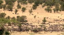 Wildebeest Start Migration To New Pastures