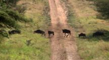 Wildebeest Juvenile Trips And Goes Back To Try Again