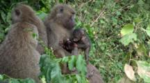 A Female Olive Baboon Nurses Her Baby While A Juvenile Vies For Her Attention And Two Friends Sits By.