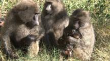 Three Female Olive Baboon Scratch While One Baboon Gets Annoyed With A Baby And The Other One Picks Up The Baby And Cuddles It