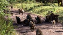 An Olive Baboon Troop Moves Down A Road