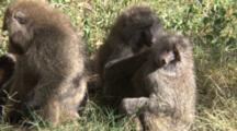 Olive Baboons Scratch And Groom Each Other While Eating The Insects