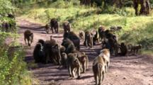 Olive Baboon Troop Continue Down A Road