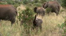 A Young African Elephant Eats  From A Bush Surrounded By Adults