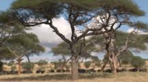 Cape Buffalo Herd With Calves Group Under Acacia Trees In Tall Grass