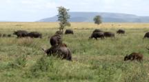 Cape Buffalo Herd With Calves Graze In The Grasslands With Birds Riding Them And A Mountain In The Background