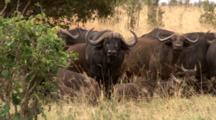 Cape Buffalo Herd With Calves Stare Face Forward