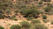 Cape Buffalo Herd With Calves Stay In The Shade From The Hot Sun