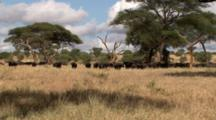 Cape Buffalo Herd With Calves Move Into The Shade From The Hot Sun