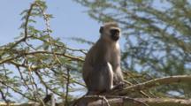 Vervet Monkey Sits On A Yellow Acacia Branch