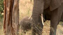 An Infant Elephant Nurses While Mother Elephant Eats
