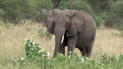 Elephant In Front Of A Hibiscus Cannabinus Bush Runs Off