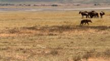 A Spotted Hyena Walks Past An Anxious Group Of Wildebeest